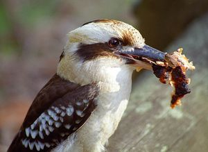 Kookaburrawithfood