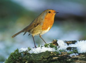 Robin in snow 2